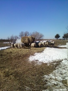 ewes in February